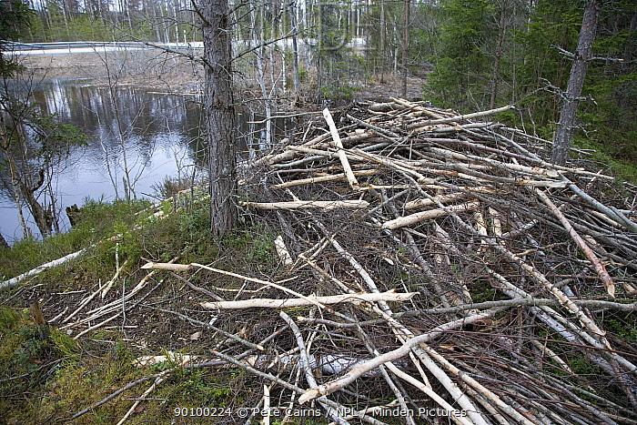 Lodge built by European beaver (Castor Fibor) Sweden, April  -  Pete Cairns/ npl