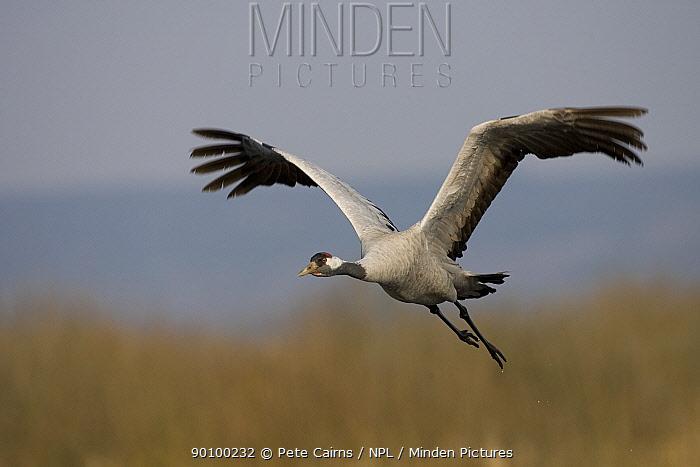 Eurasian Crane (Grus grus) taking off, Hornborga, Sweden, April  -  Pete Cairns/ npl