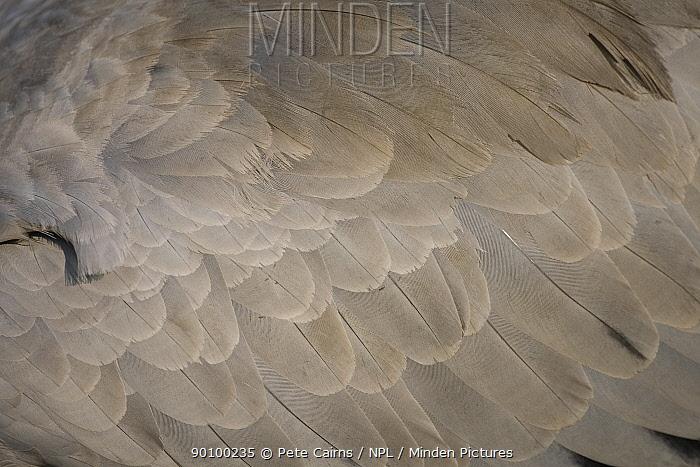 Eurasian Crane (Grus grus) close-up detail of wing feathers, Hornborga, Sweden, April  -  Pete Cairns/ npl