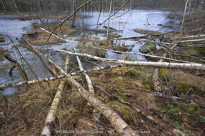 Aspen trees felled by European beaver (Castor Fibor), Sweden, April 2008  -  Pete Cairns/ npl