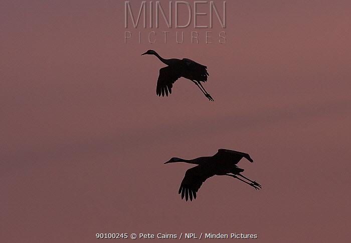 Eurasian Crane (Grus grus) silhouetted against fiery sunset, Lake Hornborga, Sweden, April  -  Pete Cairns/ npl