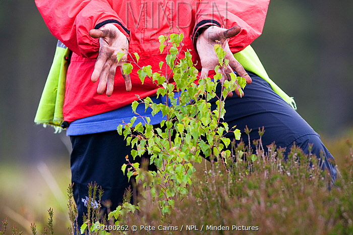 Volunteer showing off Birch tree (Betula pendula) planted on moorland, Glen Moriston, Highlands, Scotland, UK, April  -  Pete Cairns/ npl