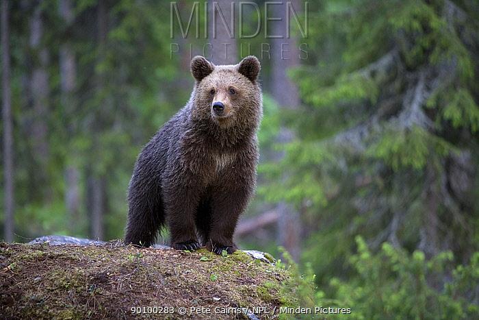 European brown bear (Ursus arctos) cub portrait, Finland, June  -  Pete Cairns/ npl