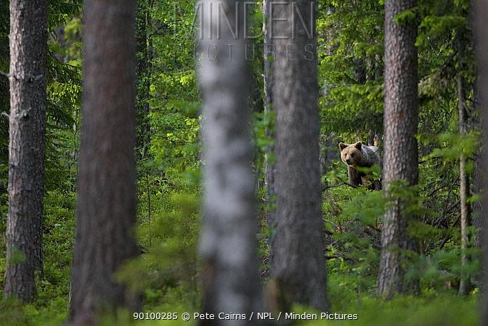 European brown bear (Ursus arctos) in boreal forest, Finland, June  -  Pete Cairns/ npl