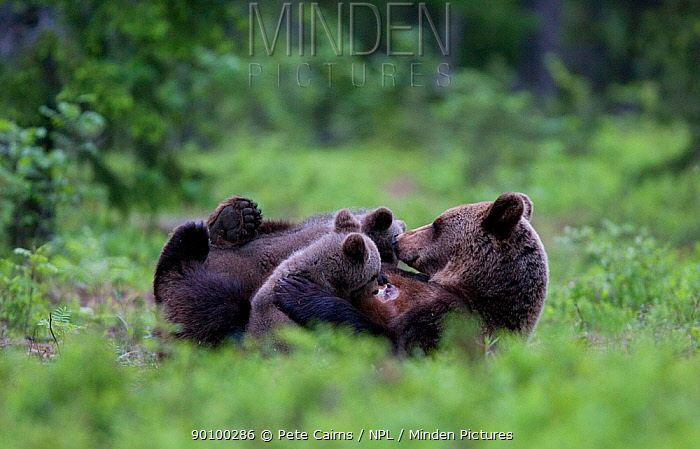 European brown bear (Ursus arctos) mother feeding two cubs in boreal forest, Finland, June  -  Pete Cairns/ npl