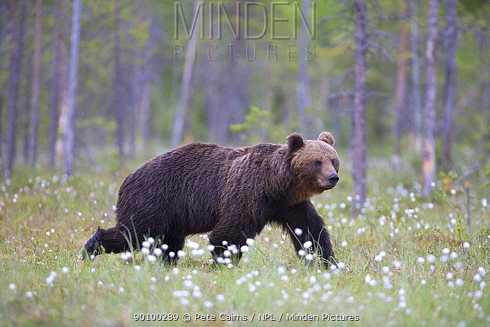 European brown bear (Ursus arctos) walking amongst cotton grass in seed, Finland, June  -  Pete Cairns/ npl