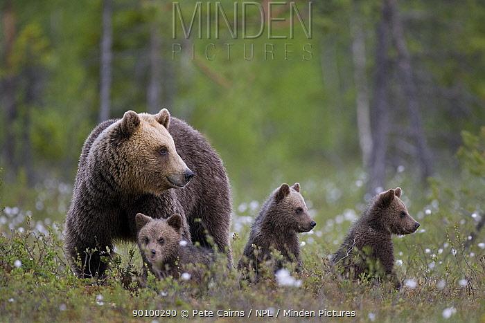 European brown bear (Ursus arctos) with three cubs, Finland, June  -  Pete Cairns/ npl