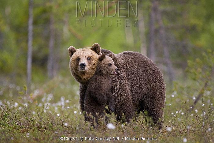 European brown bear (Ursus arctos) mother with cub standing on hind legs, Finland, June  -  Pete Cairns/ npl