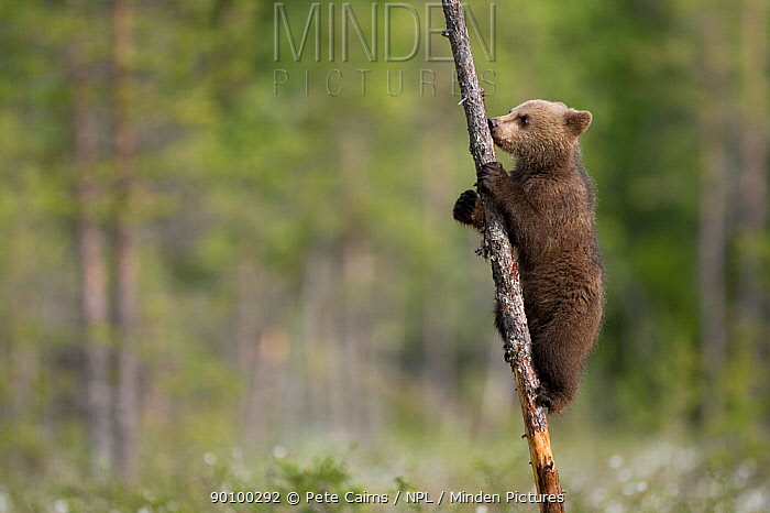 European brown bear (Ursus arctos) cub climbing tree, Finland, June  -  Pete Cairns/ npl