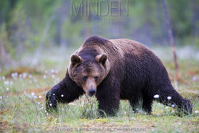 European brown bear (Ursus arctos) walking, Finland, June  -  Pete Cairns/ npl