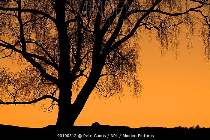 Silver birch (Betula pendula) silhouetted at sunset, Scotland, December  -  Pete Cairns/ npl