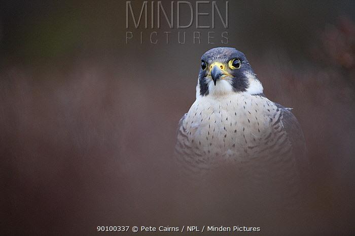 Peregrine falcon (Falco peregrinus) portrait in heather, Scotland, UK, captive, August  -  Pete Cairns/ npl