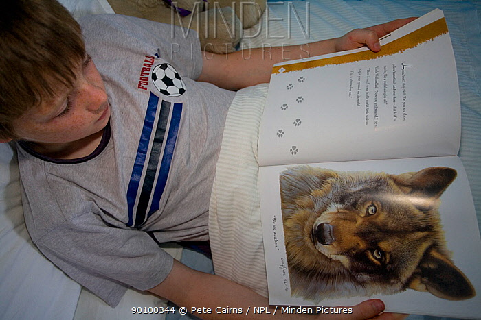 Boy reading wolf book in bed, Scotland, UK, model release  -  Pete Cairns/ npl