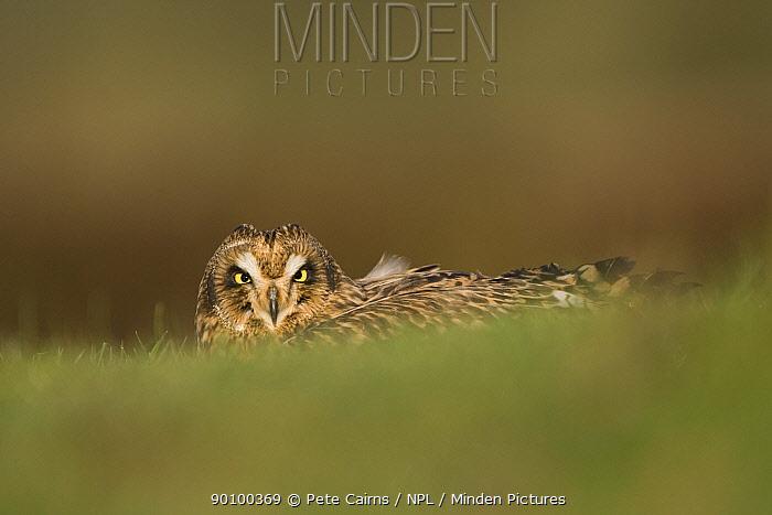 Short-eared owl (Asio flammeus) portrait, UK, captive, December  -  Pete Cairns/ npl