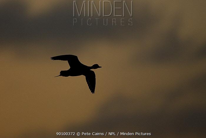 Silhouette of Pintail duck (Anas acuta) in flight at dusk, Lancashire, UK, December  -  Pete Cairns/ npl