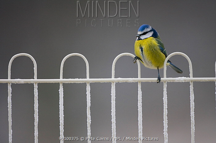 Blue tit (Parus caeruleus) perched on fence covered in frost, Scotland, UK, February  -  Pete Cairns/ npl