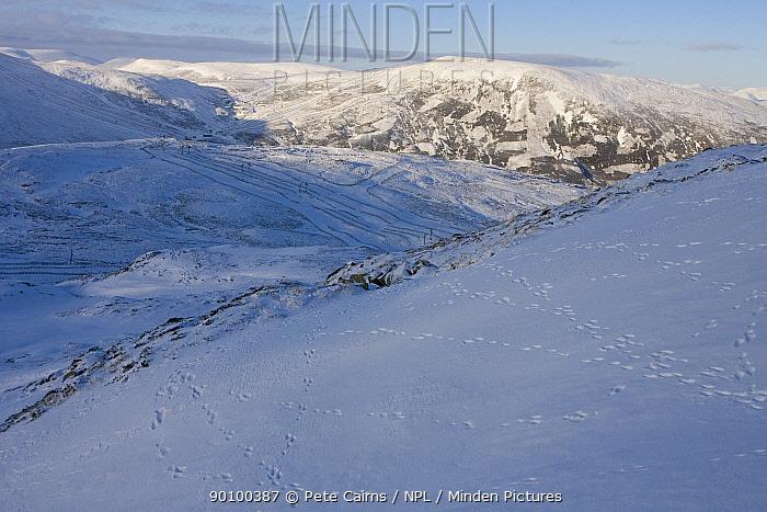 Mountain hare (Leups timidus) footprints in snow, Glenshee ski centre, Braemar, Highlands, Scotland, UK, January 2009  -  Pete Cairns/ npl