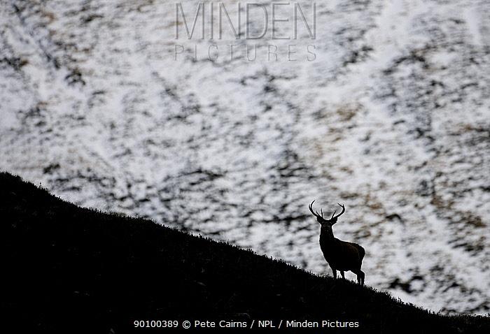 Silhouette of Red deer (Cervus elaphus) stag on ridge, Alladale, Sutherland, Scotland, UK, February  -  Pete Cairns/ npl