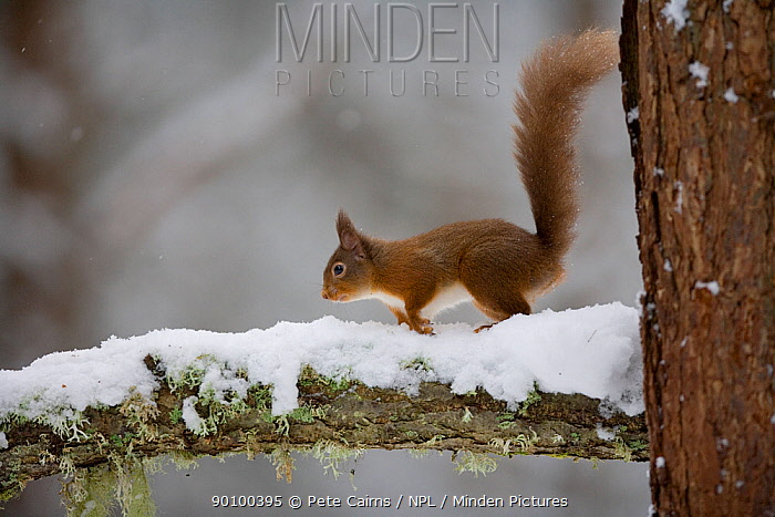 Red squirrel (Sciurus vulgaris) running along snow-covered branch in pine forest, Cairngorms NP, Highland, Scotland, UK, February  -  Pete Cairns/ npl