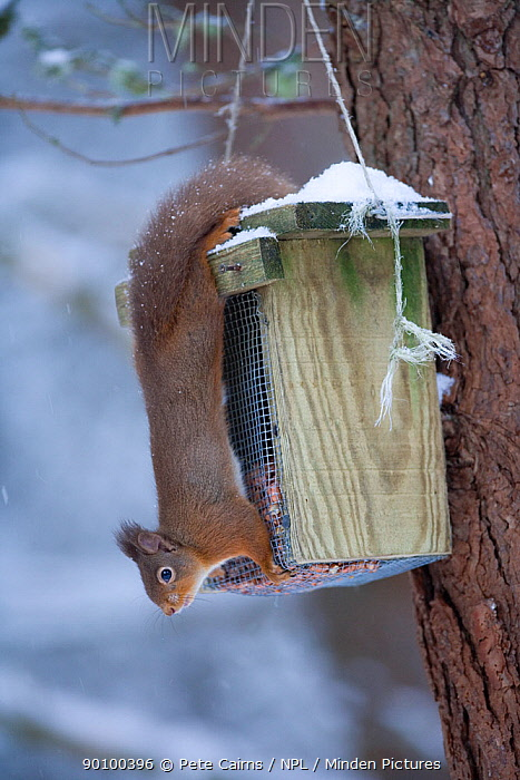 Red squirrel (Sciurus vulgaris) in pine forest attempting to feed from bird feeder, Cairngorms NP, Highland, Scotland, UK, February  -  Pete Cairns/ npl