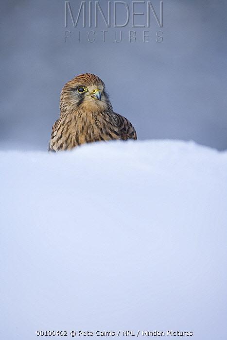 Kestrel (Falco tinnunculus) captive, portrait in deep snow, Scotland, UK, February  -  Pete Cairns/ npl
