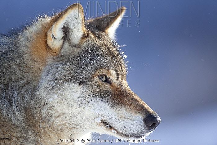 European grey wolf (Canis lupus) head profile, Tromso, Norway, captive, April  -  Pete Cairns/ npl
