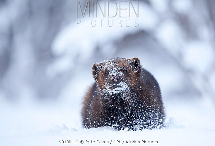 Wolverine (Gulo gulo) in snow, Tromso, Norway, Captive, April  -  Pete Cairns/ npl
