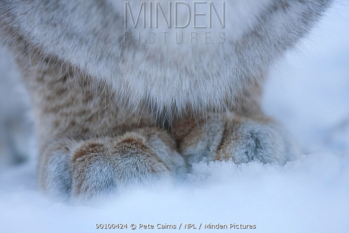 Close up of feet of European Lynx (Lynx lynx) in snow, Tromso, Norway, captive  -  Pete Cairns/ npl