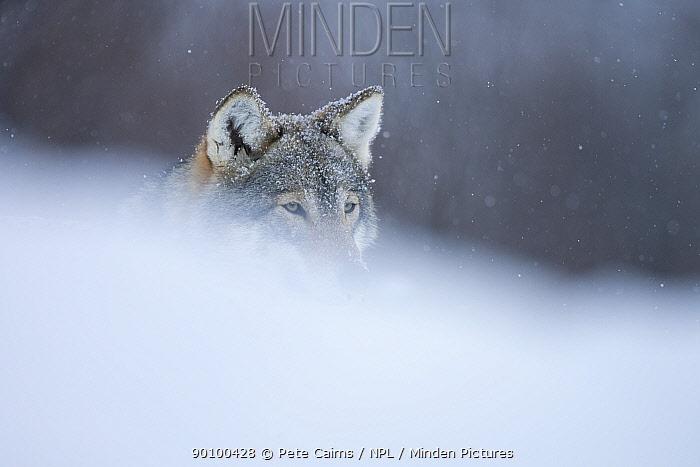 European grey wolf (Canis lupus) portrait in snow, Tromso, Norway, captive, April  -  Pete Cairns/ npl