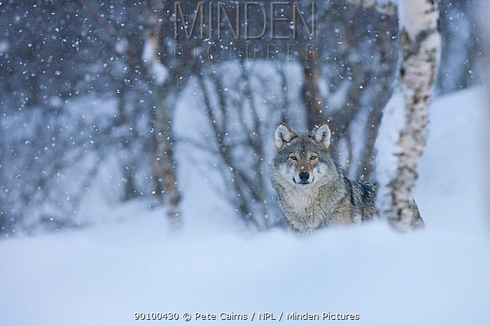 European grey wolf (Canis lupus) in birch forest in snow, Tromso, Norway, captive, April  -  Pete Cairns/ npl