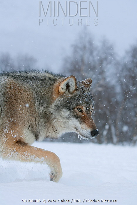 European grey wolf (Canis lupus) walking through deep snow in birch forest, Norway, captive, April  -  Pete Cairns/ npl