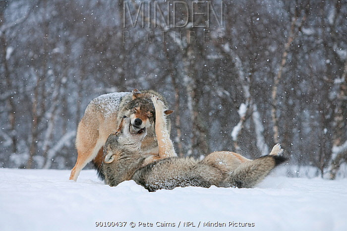 European grey wolf (Canis lupus) playing in snow in birch forest, Norway, captive, April  -  Pete Cairns/ npl