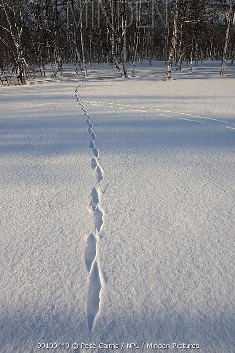 Tracks of Red fox (Vulpes vulpes) in snow, Tromso, Norway, April  -  Pete Cairns/ npl