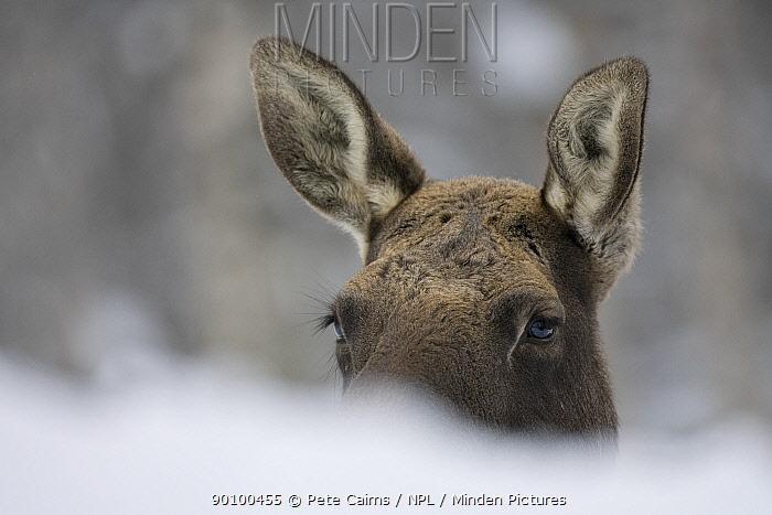 European elk, Moose (Alces alces) resting in snow, Tromso, Norway, captive  -  Pete Cairns/ npl