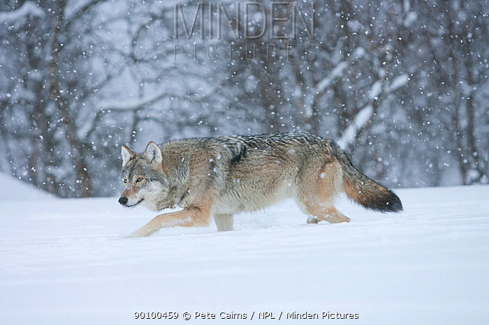 European wolf (Canis lupus) running through snow in birch forest, Tromso, Norway, captive, April  -  Pete Cairns/ npl