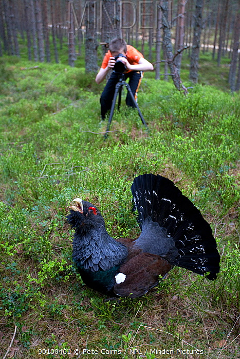 Young boy photographing Capercaillie (Tetrao urogallus) male displaying in pine forest, Scotland, April 2009, model release  -  Pete Cairns/ npl