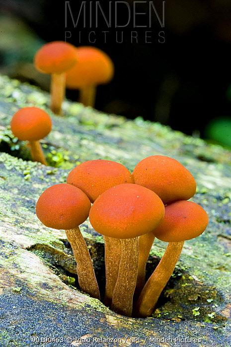 Pholiota sp fungus, Pyrenees, Catalonia, Spain  -  Inaki Relanzon/ npl
