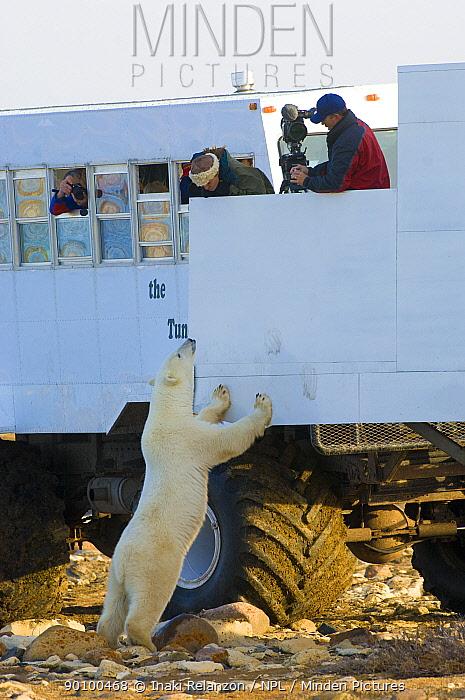 Polar bear (Ursus maritimus) investigating Tundra Buggy, Churchill, Hudson Bay, Canada October 2005  -  Inaki Relanzon/ npl