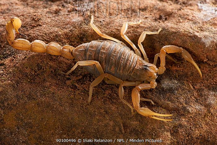 European buthus scorpion (Buthus occitanus), Spain, Europe  -  Inaki Relanzon/ npl