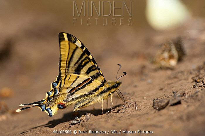 Scarce swallowtail butterfly (Iphiclides podalirius), Pyrenees, Spain May  -  Inaki Relanzon/ npl