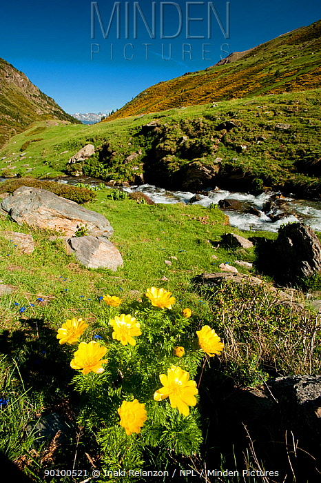 Adonis (Adonis pyrenaica) Vallee d' Eyne Reserve Naturel, Haute Cerdagne, Pyrenees Orientales, Languedoc Roussillon, France June 2009  -  Inaki Relanzon/ npl