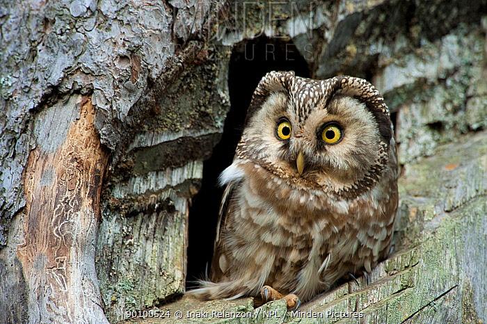 Tengmalm's owl (Aegolius funereus) at nest in tree, Pyrenees, Spain June  -  Inaki Relanzon/ npl