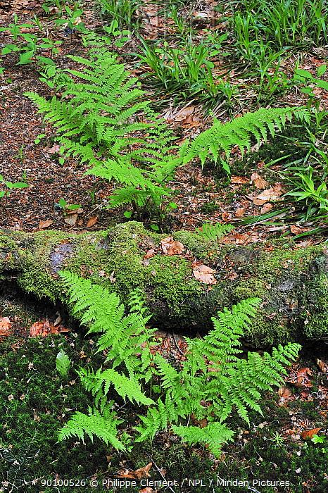 Alpine Lady-fern (Athyrium distentifolium) in forest, Germany  -  Philippe Clement/ npl