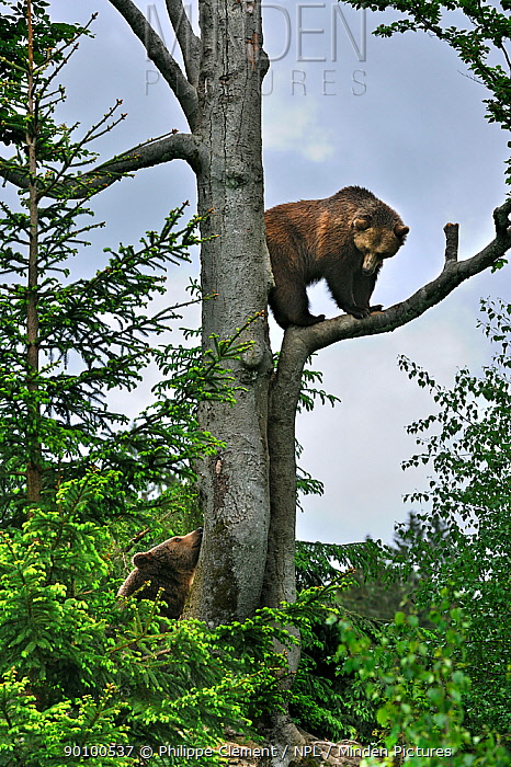 European Brown bear (Ursus arctos) female climbed tree and is looking down at male bear, Bavarian Forest NP, Germany, Captive  -  Philippe Clement/ npl