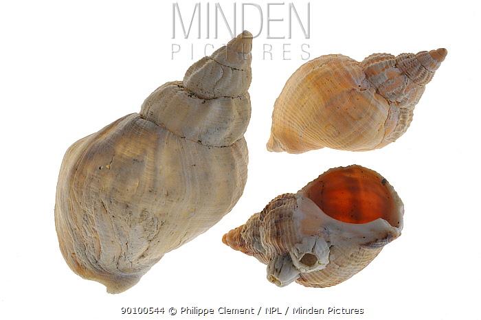Common whelk (Buccinum undatum) shells, Brittany, France  -  Philippe Clement/ npl