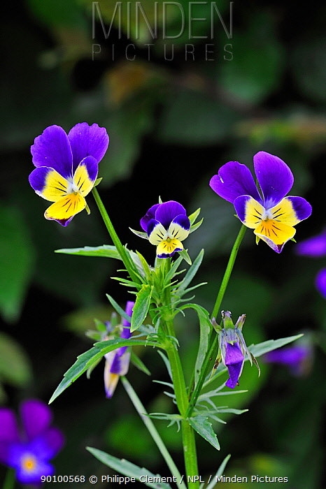 Heartsease, Wild pansy (Viola tricolor) in flower, Belgium  -  Philippe Clement/ npl