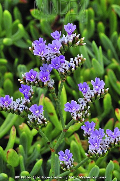 Rock sea lavender, Dwarf sea-lavender (Limonium binervosum), Brittany, France  -  Philippe Clement/ npl