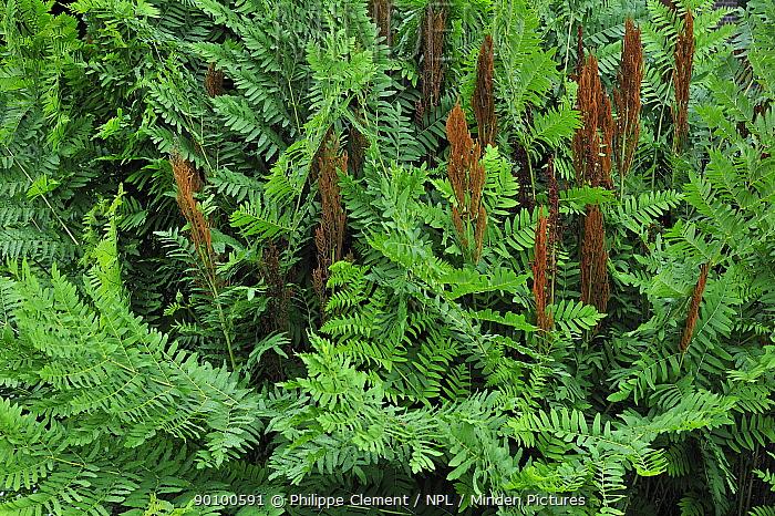 Royal fern (Osmunda regalis) leaves and spore-bearing fronds, Belgium  -  Philippe Clement/ npl