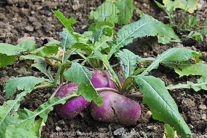 White turnip (Brassica rapa) in vegetable garden, Belgium  -  Philippe Clement/ npl