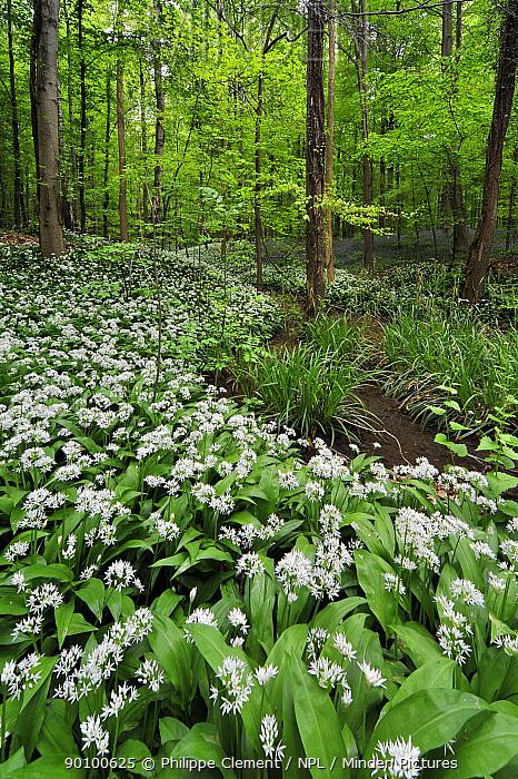 Wild garlic, Ramsons (Allium ursinum) along brook in spring woodland, Hallerbos, Belgium  -  Philippe Clement/ npl